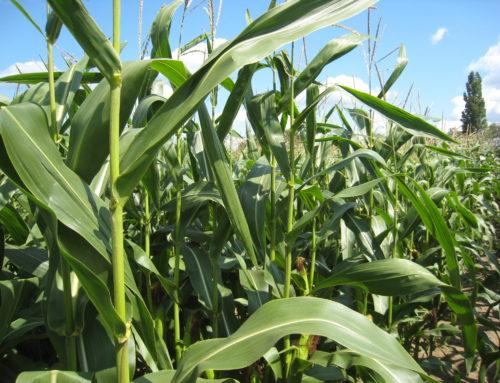 Maïs veldproef staat er goed bij